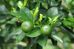 Lime (Lim SK) Tags: lemon lime