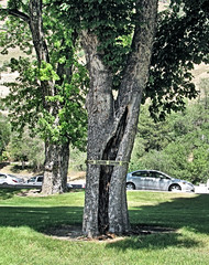 Caution: Hollow Tree!!! (Eyellgeteven) Tags: trees tree rot leaves danger leaf branch decay branches caution rotten decrepit dying hollow decayed cautiontape rotted eyellgeteven