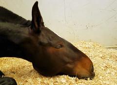 Sleepy Horse (R~P~M) Tags: uk greatbritain england horse college hospital unitedkingdom hertfordshire equine veterinary herts pottersbar