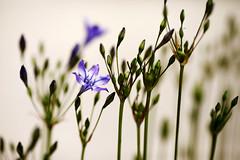 FleursMaison_20160606_006 (bourjean29) Tags: france bretagne printemps finistre 135mmf2l bourgeoisjean