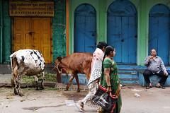 the kings seat (AnimeshHazra) Tags: street people india colors cow women doors tea hyderabad chai telangana begumbazar