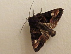 1856 A cute moth (Andy panomaniacanonymous) Tags: bbb brown mmm moth photostream