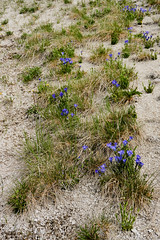 DSC02968 (pezlud) Tags: yellowstone nationalpark landscape geyserbasin grandprismaticspring midwaygeyserbasin geyser park flower
