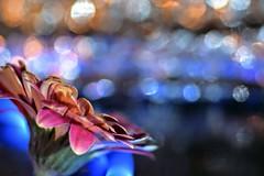 bokeh flower (emerycatherine) Tags: blur flower macro creativity lights petals nikon bokeh creative tamron chrysanthemum macroflower tamron90mmmacro prettypetals flowerbokeh nikond5300
