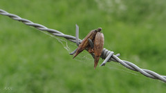 Trapped by reality, freed  by imagination (babs van beieren) Tags: green nature grass fence wire