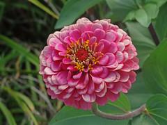DSC00052 (gregnboutz) Tags: flowers flower macro macros macroflowers macroflower bloomingflower bloomingflowers pinkzinnia pinkzinnias macrozinnia colorfulmacros colorfulzinnias gregboutz bloomingzinnias macrozinnias