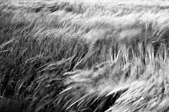 the wind that shakes the barley (txutis de can burrass) Tags: duna blancinegre blackandwhite bn bw landscape paisaje paisatge herba cereal navarra nafarroa euskalherria nikon vent viento wind