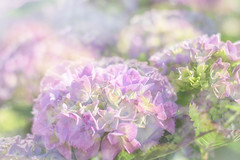 192/366: Softly, softly (judi may) Tags: pink flowers flower green 50mm soft dof purple bokeh pastel softness hydrangea hydrangeas pinkhydrangea canon7d day192366 366the2016edition 3662016 10jul16