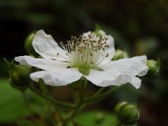 P5240085 (kevinandrewmassey) Tags: linvillegorge blackberry flower flora plant wildflower n