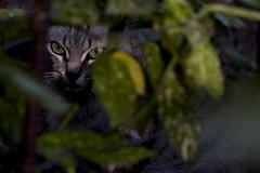 Hidden (ramosblancor) Tags: naturaleza nature animales animals gatos cats hbridos hybrids wildcats gatomonts conservacin conservation luz light jardn garden escondido hidden madrid
