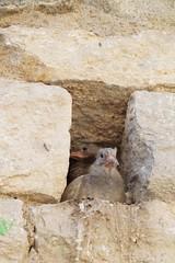 Stadsduif / Feral pigeon (Duuj) Tags: bird pigeon duif