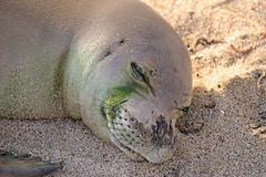Kauai, 2016 (carrie227) Tags: hawaii seal kauai babyseal monkseal hawaiianislands