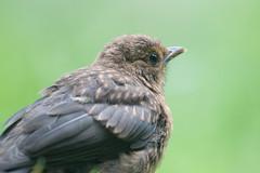 Blackbird (juv.), Merel, Turdus merula (jwsteffelaar) Tags: blackbird turdusmerula