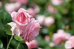 Rose garden (Overtherainbow changes to KV Photography) Tags: flowers roses flower macro nature rose priroda kvetiny pruhonice kvphotography dendrologickazahrada katerinavodrazkova