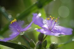 morning dew/ (kurupa_m) Tags: summer plant flower weed purple    xt10