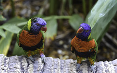 Lorikeet Duo (C. P. Ewing) Tags: lorikeet lorikeets bird birds animal animals nature outdoor natural avian colorful