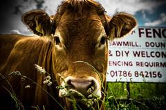 happy fun/fence Friday! (morag.darby) Tags: sign digital rural fence cow nikon nikkor hff d3300