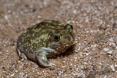 _O6A6068 Couches Spadefoot Toad Dancing Snake Nature Photography (Dancing Snake Nature Photography) Tags: arizona nature photography toads amphibians sabinocanyon dancingsnakenaturephotography couchesspadefoottoad
