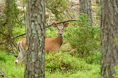 Vitsvanshjort (evisdotter) Tags: wood trees nature forest finland skog nagu whitetaileddeer odocoileusvirginianus pargas sooc vitsvanshjort