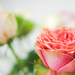 Anniversary roses 3