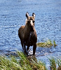 Angry Cow Moose (JLS Photography - Alaska) Tags: nature water animal animals alaska outdoor wildlife moose wilderness charge alce cowmoose alces jlsphotographyalaska