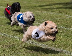 Dog day at the races (kimbenson45) Tags: cairnterrier action animal animals black blue brindle brown competition competitor dog dogs furry gray grey jump leaping motion movement pet pets race racing red running speed terriers three trio wheaten white appicoftheweek
