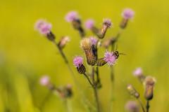 Blte (JBsLightAndShadow) Tags: flowers summer flower field sunshine nikon blossom sommer feld felder sunny blumen bloom fields heidelberg blume blte sonnig sonnenschein blhen nikond3300 d3300