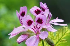 Flower 3 (gorrarroja) Tags: espaa flower macro valencia spain flor macrophotography macrofotografa