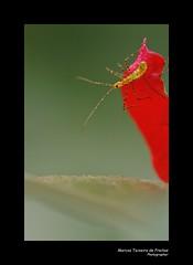 Bicho na  planta Primavera (Marcos Teixeira de Freitas) Tags: brazil macro closeup brasil canon bug insect 100mm inseto 50d marcosteixeiradefreitas