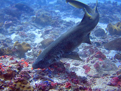 Brown-banded Bamboo Shark (4) (Petter Thorden) Tags: indonesia diving