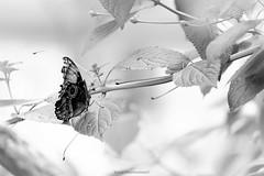 (bernd obervossbeck) Tags: blackandwhite bw nature butterfly natur highkey schwarzweiss schmetterling schwarzweis berndobervossbeck fujixt1