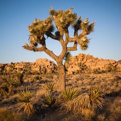 Joshua Tree during golden hour (bjsmith1984) Tags: california sunset nature landscape nationalpark joshuatree joshuatreenationalpark