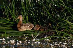 _F0A2798.jpg (Kico Lopez) Tags: birds rio spain aves galicia lugo mio anasplatyrhynchos anadeazulon