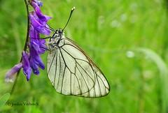 groot geaderd witje (Aporia crataegi) (jorden vrebosch) Tags: geaderd witje aporia jorden vrebosch crataegi groot blackveined white