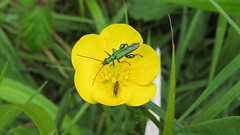 Thick legged flower beetle and friend. (hedgehoggarden1) Tags: uk flower nature yellow insect outdoors wildlife beetle insects dorset nobilis oedemera thickleggedflowerbeetle micromoth canonpowershotsx50hs