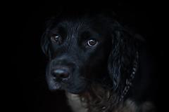 Sad Jack (**Lyndsey Pollard**) Tags: black springerspaniel portrait nikon d700 sigma 150mmmacro