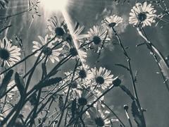 a sky full of flowers (***toile filante***) Tags: flowers light blackandwhite bw sun sunlight nature grass licht heaven touch natur meadow wiese blumen poetic sw gras rays sunrays schwarzweiss emotions sonne heavenly sonnenstrahlen feelings himmlisch gefhl sonnenlicht strahlen poetisch