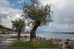 Ancient Olives, Salo, Lake Garda (RichardTowers43) Tags: salo lakegarda