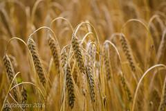 Korn (Floramon) Tags: acker korn cereals hre halme gold gelb yellow braun brown