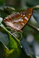 _F0A3475.jpg (Kico Lopez) Tags: rio spain galicia mariposas lugo mio apaturailia tornasolada