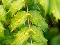 (Summer of holly) 2 (wakyakyamn) Tags: leaves olympus holly omd    em10markii
