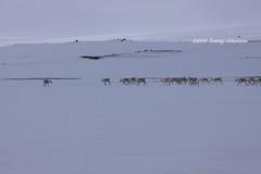 Reindeer (tommyajohansson) Tags: vacation holiday geotagged reindeer island vacances iceland islandia urlaub ren sland semester reindeers islande faved renar tommyajohansson