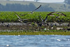 DSC01913 (Mario C Bucci) Tags: verde do eduardo garça tuiuiu dinan bigua banhado ratão anhambi tanquã tanquan