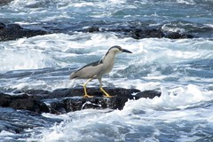 surf walker (BarryFackler) Tags: ocean life sea bird beach heron nature water ecology animal fauna hawaii polynesia bay coast marine pacific shoreline pacificocean coastal tropical coastline bigisland aquatic creature biology kona avian ecosystem coralreef zoology blackcrownednightheron aukuu organism nycticoraxnycticorax honaunau konacoast hawaiicounty southkona hawaiiisland 2013 honaunaubay westhawaii nnycticorax barryfackler barronfackler