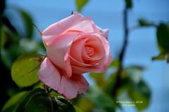 Pink rose (Pepe (ADM)) Tags: pink flowers flores nature rose flor fiori pinkrose fleure