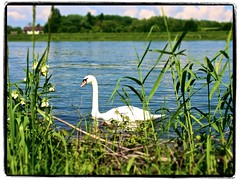 swan (captainwian) Tags: bird animal swim pen river swan riverside olympus grasses pl5 olympusm1442mmf3556iir