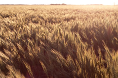 Wheat (aithom2) Tags: summer sun golden evening bright wheat farming warmth kansas fields flares goldenhour goessel