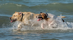 MDB 59 (Jan Crites) Tags: lake chicago playing beach dogs harbor illinois nikon sunny canine running lakemichigan montroseharbor dogbeach splashing d600 montrosedogbeach