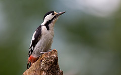 Syrian ? Woodpecker