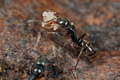 egg rescue (myriorama) Tags: ant eggs
